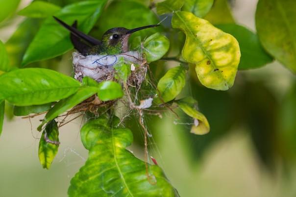Maravillas de la naturaleza cubana: Hembra de colibrí esmeralda cubano (Chlorostilbon ricordii) en su nido. Foto: Jesus Reina Carvajal.